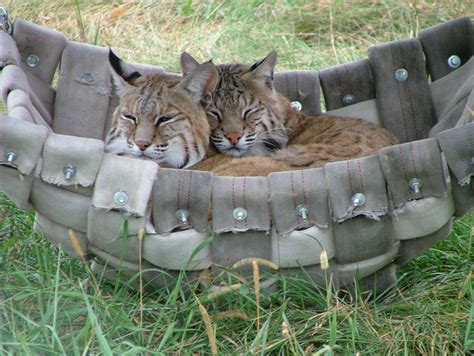 Hose Hammock by Firehose Hammock The Wildcat Sanctuary