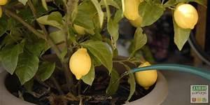 Tailler Un Citronnier : entretien du citronnier 4 saisons jardipartage ~ Melissatoandfro.com Idées de Décoration