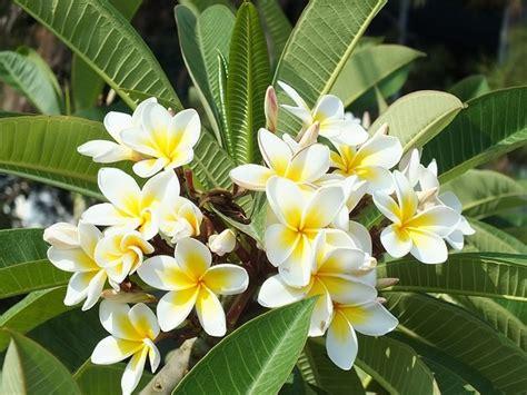 mitos dibalik keelokan bunga kamboja