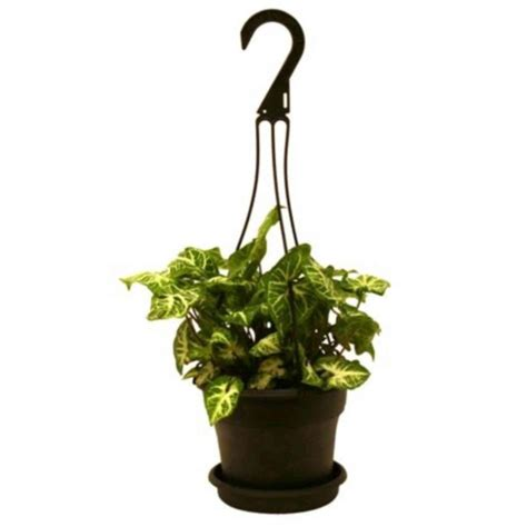 home depot hanging ls delray plants nepthytis in 6 in hanging basket 6nephb