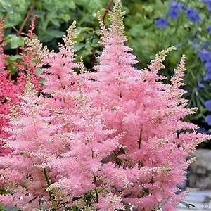 Astilbe arendsii Music Collection - 3 plants Buy online ...