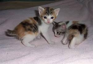 japanese cats japanese bobtail