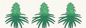 10 Best Flowering Stage Tips For Cannabis