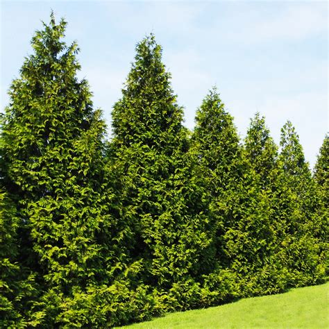 arborvitae trees emeralds vs green giants dueling thujas competing for your garden fast growing trees com blog