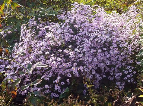 plantfiles pictures blue wood aster blue heart leaved