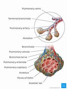 Alveoli  Anatomy  Function And Clinical Points