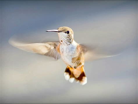 hummingbird wallpapers hd pictures  hd wallpaper
