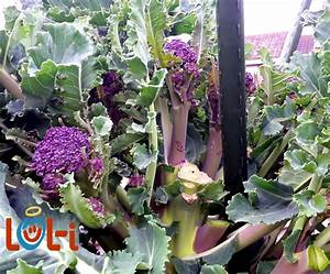Sow Chart Growing Broccoli For Best Results Vegetable Growing Tips