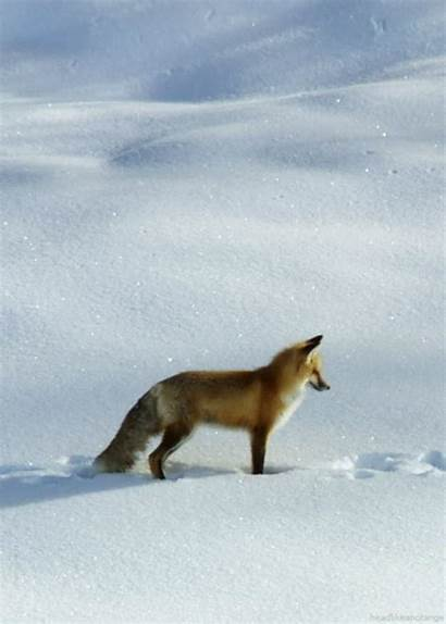 Fox Gifs Snow Animals Headlikeanorange Animal Orange