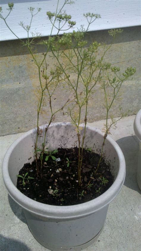 Diagnosis Why Does My Cilantro Have thin Leaves Why Is