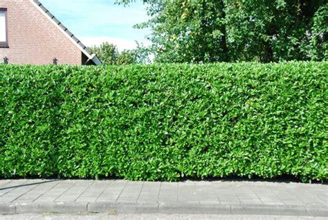 Pflanzzeit Kirschlorbeer Hecke by Heckenpflanzen Ausw 228 Hlen Und Eine Sch 246 Ne Hecke Gestalten