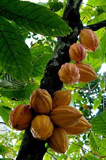 cacao wiktionary