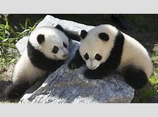El peculiar ritmo de vida de los osos panda