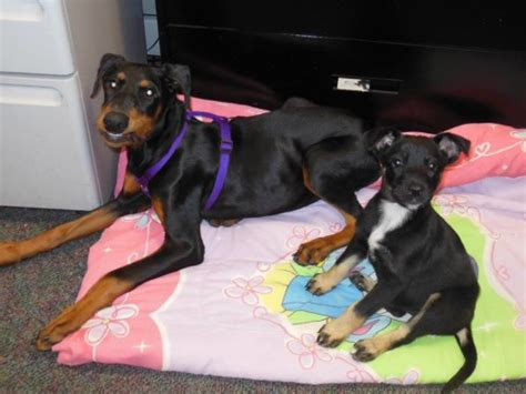 Update On Emaciated Doberman Pup For The Love Of The Dog