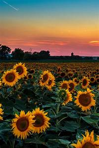 sea of sunflowers | Tumblr