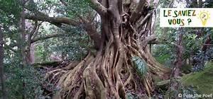 Profondeur Des Racines D Un Figuier : l 39 histoire du figuier trangleur un arbre tueur qui nourrit plusieurs l gendes ~ Carolinahurricanesstore.com Idées de Décoration