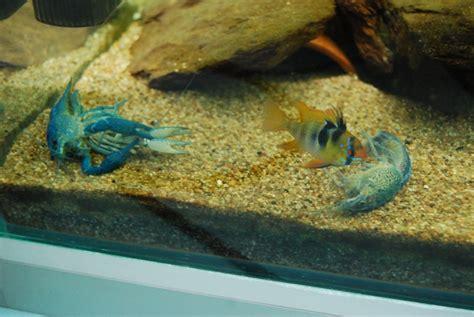 cuisiner des ecrevisses ecrevisse d aquarium 28 images ecrevisse d aquarium