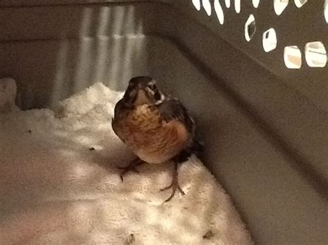 quot daffy duck quot baby robin fledgling that fell out of nest this year feed him worms for three