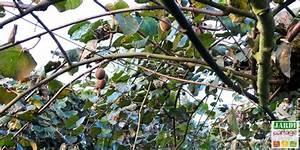 L Arbre Du Kiwi : le kiwi un arbre ou une liane sa culture jardipartage ~ Melissatoandfro.com Idées de Décoration