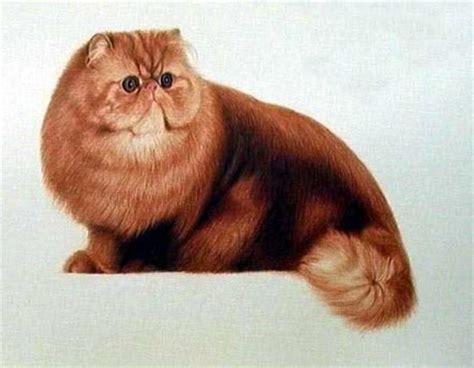 gatti persiani torino gattipersiani it gatti persiani