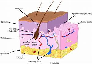 Anatomy Of Human Skin  The Most Superficial Layer Of The