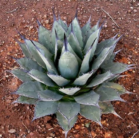 best agave 86 best images about agave s from my garden s on pinterest gardens glow and montana