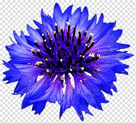 library  white blue cornflower vector transparent  png files clipart art