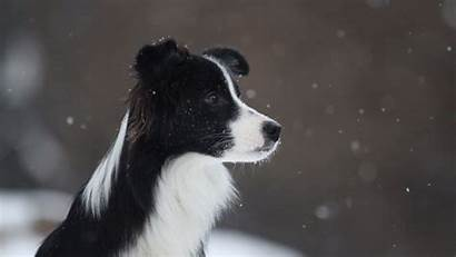 Collie Border Dog Spotted Animal Displar Android