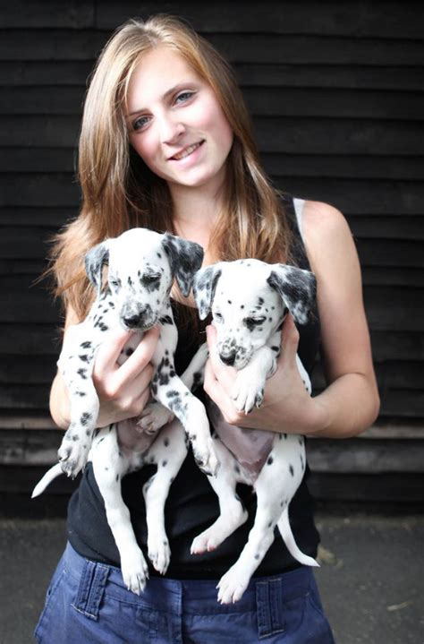 dalmatian puppies born   tired mother