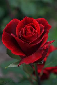 17 Best images about Red Red Rose on Pinterest   Single ...