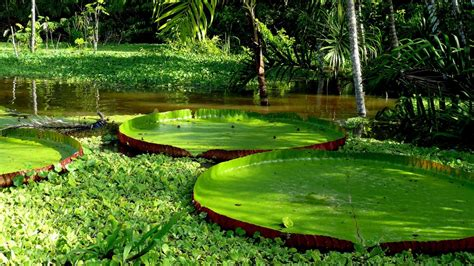 lily pad wallpapers  background pictures