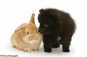 Cute Puppy Dogs: Cute black pomeranian puppies