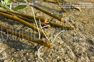 Magnolien Vermehren Durch Stecklinge : oleander stecklinge bewurzeln anleitung mit bild ~ Lizthompson.info Haus und Dekorationen