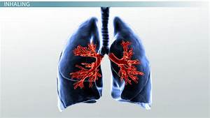 How Our Lungs Work  Main Processes  U0026 Function