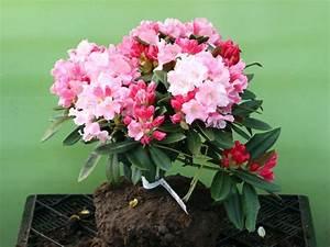 Kleinwüchsige Immergrüne Hecke : rhododendron mardi gras rhododendron yakushimanum mardi ~ Lizthompson.info Haus und Dekorationen