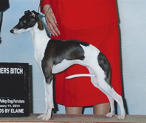 colors  markings amore  chaulait italian greyhounds