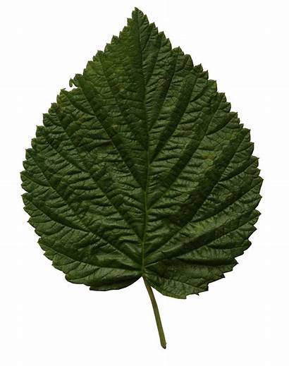 Leaf Linden Leaves Cut Trees Freecutout
