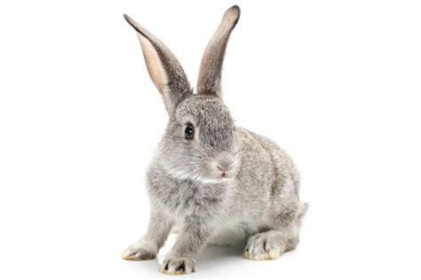 cuisiner le lapin de garenne eleveur de lapin la chapelle d 39 alagnon aurillac