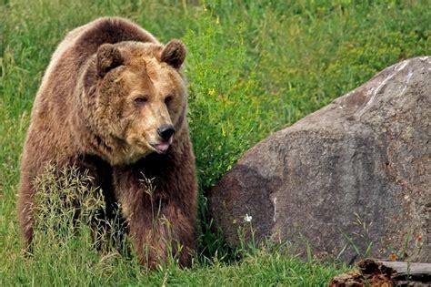 garbaging  bears  federal land puts grizzlies