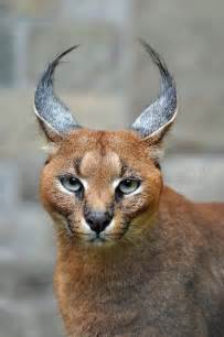 caracal cat caracal animal cats
