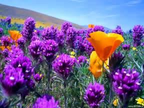 tulip bouquets beautyful flowers beautiful flowers wallpapers