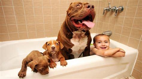 Maior Cachorro Do Mundo Tudo Sobre Cachorros