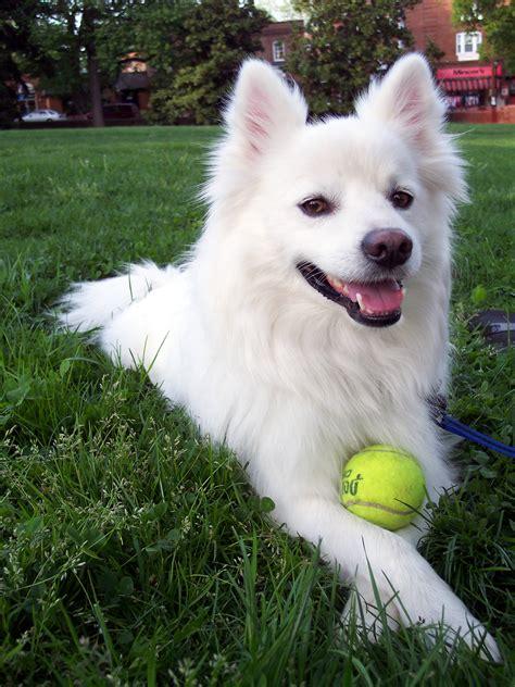 Fileamerican Eskimo Dog Jpg
