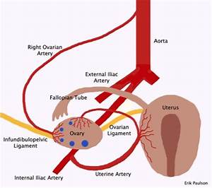 Dual blood supply of the ovary | Xradiologist