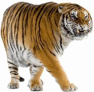 tiger walking away clipart