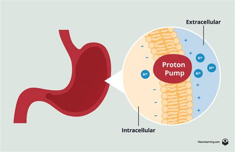 Proton Pumps by Membranes Ii Biology Visionlearning