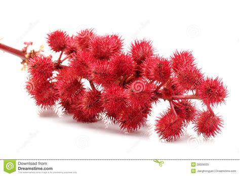 castor oil plant flowers stock image image  decorative