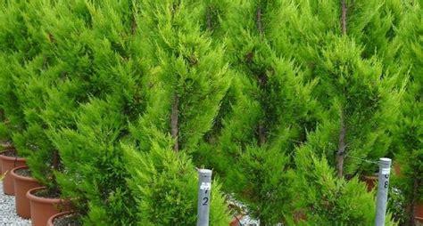 piante terrazzo piante terrazzo piante da terrazzo caratteristiche