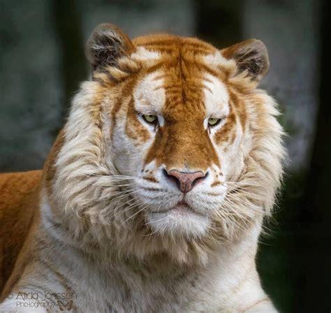 Rare Golden Tabby Tiger Animalarium Pinterest Tigers