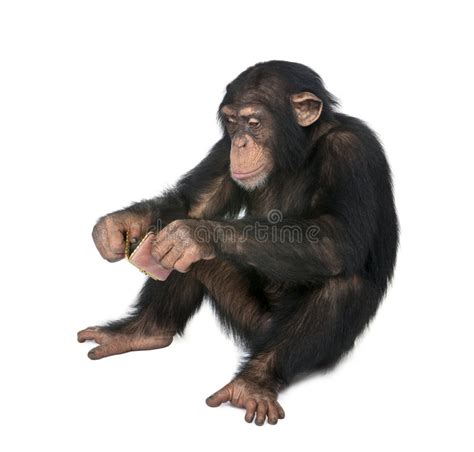 Young Chimpanzee - Simia Troglodytes (6 Years Old) Stock ...